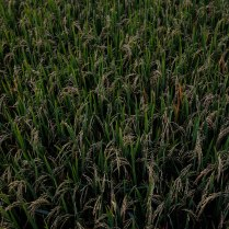 green rice 2017