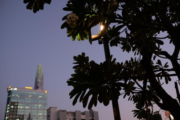 plumeria tree ho chi minh city
